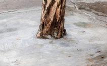Nhiều cây xanh ven đường đang bị 'bóp cổ' bằng ximăng