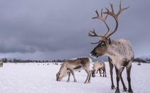 Nghiên cứu lạ: Đưa ngựa, tuần lộc lên Bắc Cực ngăn băng tan