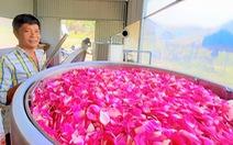 Hoa hồng trên đồi núi Tây Giang