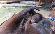 Thêm 1 đười ươi quý hiếm Sumatra ra đời ở Đầm Sen