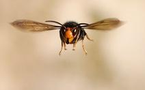 'Ong bắp cày sát thủ' xuất hiện bất thường tại Mỹ