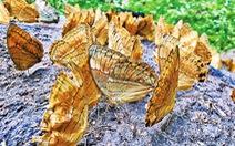 Tuyệt đẹp thung lũng bướm hơn 100 triệu con
