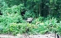 Phát hiện 2 con voi ra bìa rừng ở Quảng Nam tìm thức ăn