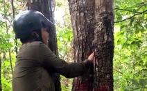 Chuẩn bị chặt hàng ngàn cây dầu tự nhiên ở Côn Đảo để làm khu tái định cư