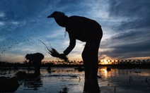 Tránh nắng nóng 40 độ, nông dân Hà Nội đi cấy lúa từ giữa khuya