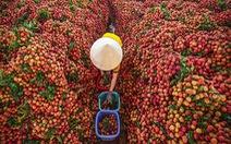 Vụ mùa đặc biệt của vải thiều Lục Ngạn