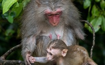 Khuyến cáo du khách không cho khỉ ăn ở bán đảo Sơn Trà