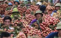 Bắc Giang dự kiến xuất khẩu 80.000 tấn vải thiều, Trung Quốc vẫn là thị trường chính