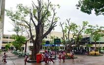 Khảo sát 21 trường học tại TP.HCM: cây xanh cắt tỉa chưa đúng kỹ thuật