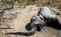 350 con voi chết bí ẩn ở nhiều tư thế - Tại sao?