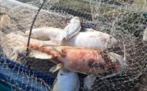 Nước lòng hồ thủy điện Sông Tranh 2 nóng lên, cá, ếch nuôi bè đều phơi bụng