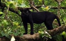 Vết chân nghi báo đen xuất hiện ở Đồng Nai tương đồng với vết chân chó