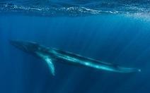 Tội nghiệp cá voi sắp chết đói vì bị cụt đuôi