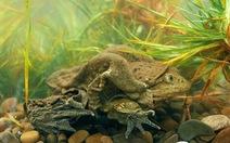 Các nhà khoa học Nam Mỹ tìm cách bảo tồn giống ếch khổng lồ Titicaca