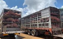 Thêm 1.000 con heo thịt từ Thái sang Việt Nam