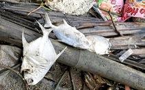 Cá bè Long Sơn chết 'lai rai' chưa rõ nguyên nhân, người nuôi thiệt hại tiền tỉ