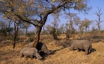 Hàng trăm tê giác được cứu khỏi bọn săn trộm nhờ các biện pháp phong tỏa
