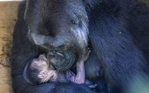 Ảnh xúc động mẹ con khỉ đột nhỏ tuổi nhất thế giới