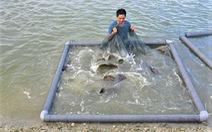 Người nuôi không kham nổi tiền thức ăn, 200ha cá mú bị bỏ đói, chờ giải cứu