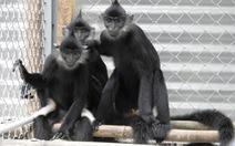 Trả ba con voọc mông trắng 'cực kỳ nguy cấp' về với rừng
