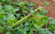 Phát hiện loài bọ ngựa mới cực lớn ở Trường Sơn