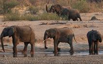 Zimbabwe điều tra cái chết bí ẩn của 11 con voi