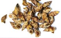 Hai loài ốc biển nào vừa gây chết người tại Vạn Ninh, Khánh Hòa?