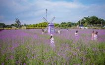 Cánh đồng hoa oải hương thảo đầu tiên tại Hà Nội hút hồn du khách