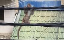 Khỉ đuôi dài 'làm xiếc' trên dây điện ở quận Bình Thạnh, TP.HCM
