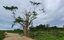 Cây 'Mắt biếc' ở Huế trơ trụi sau bão số 5