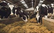 Lượng khí thải từ chăn nuôi tại châu Âu cao hơn khí thải từ ô tô