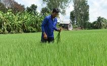 Lúa sạch - hướng đi bền vững của An Giang