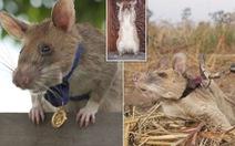 Chuột được trao huy chương vàng nhờ thành tích dò mìn