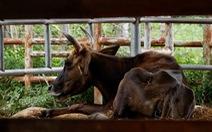11 'hậu duệ' bò tót rừng ở Ninh Thuận... 'kêu cứu'