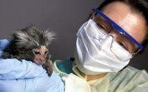 Vắc xin ngừa COVID-19 có thể ra đời chậm hơn vì… thiếu khỉ thử nghiệm