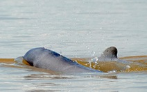 Campuchia đề cử 4 khu bảo tồn cá heo nước ngọt vào danh sách di sản