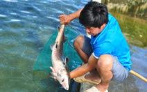 Cá tầm Trung Quốc giá rẻ tràn vào Việt Nam, người nuôi cá trong nước lao đao