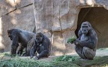Khỉ đột bị lây COVID-19 từ người