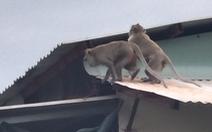 Xuất hiện đàn khỉ hơn chục con 'đại náo' khu dân cư, dân tự chế lồng để bẫy