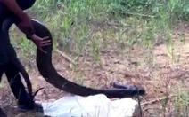 Chở thuê rắn hổ mang chúa nặng 21kg với giá 200.000 đồng, nam thanh niên bị khởi tố
