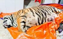 Con hổ nặng hơn 2 tạ rưỡi nghi bị chích điện, chủ nhà khai mua về nấu cao