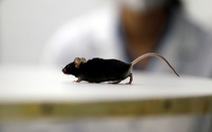 Nghiên cứu mới giúp chuột bị liệt đi lại được, mở ra hi vọng cho người