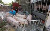Thủ tướng yêu cầu ngăn chặn tình trạng heo Việt Nam 'tuồn' qua Trung Quốc