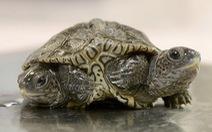 Phát hiện rùa kim cương hai đầu rất hiếm ở Mỹ