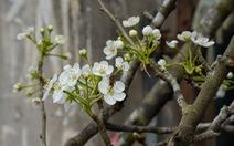 Ngẩn ngơ ngắm hoa lê trắng muốt xuống phố Hà thành