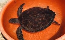 Khu bảo tồn Cù Lao Chàm tiếp nhận rùa biển thả về đại dương
