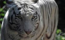 Hổ Bengal sổng chuồng 'làm loạn', Indonesia phải bắn hạ 1 con