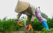 Dân Cẩm Giàng phấn khởi vì cà rốt 'được mùa, giá tốt' bất chấp dịch COVID-19