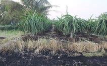 Vườn thanh long 3 năm tuổi bị kẻ gian đốt cháy khi đang trổ bông