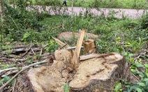 'Dọn' cây rừng sau bão ở di tích Mỹ Sơn đem bán khi chưa được phép